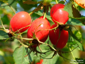Шиповник плоды 50 гр