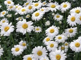 Ромашка аптечная цветки 50 гр